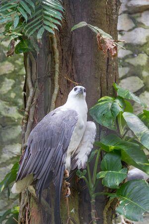 sea eagle: White-bellied Sea Eagle
