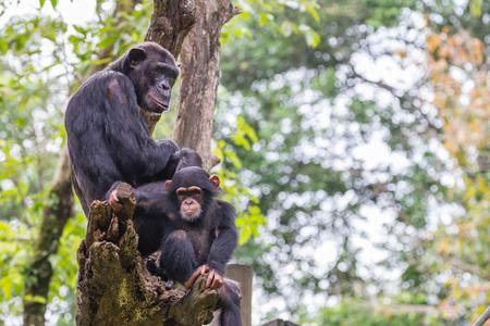 simia troglodytes: Chimpanzee Family