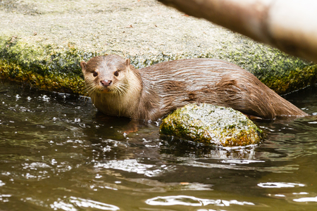 aonyx: Asian short-clawed otter on rock looking up Stock Photo