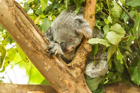 australia: Sleeping Koala in a blue gum tree, Australia Stock Photo