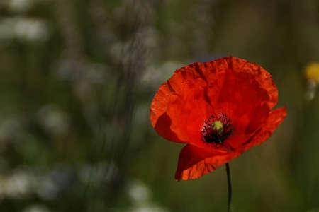 緑のぼやけた背景赤いケシの花 写真素材