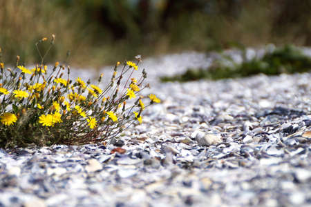 A partial photo of a plant with yellow flowers grown from a bed of broken seashells on the edge of the sea