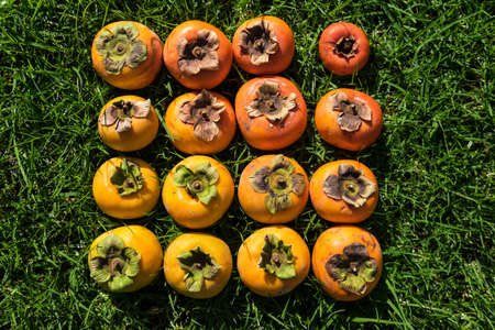 Color gradient of ripe and unripe imperfect persimmon fruit on green grass