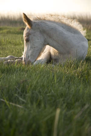 beautiful white foal resting on the grass photo