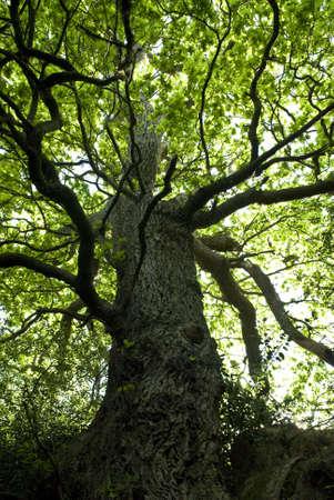 tree trunk: beautiful oak tree