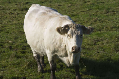 Cow out in the pasture Normandy France Stock Photo - 2592566