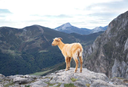 Brown goat in the mountains. Asturias. Spain