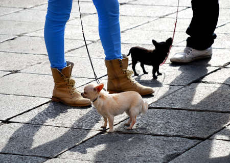 Owners of two little dogs chihuahuas chatting in the square Stock Photo