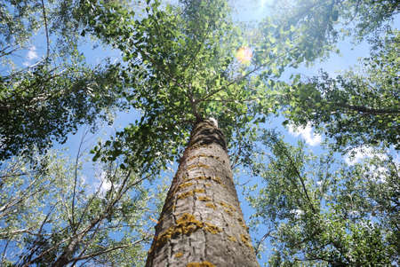 poplars: Tree top of poplar on blue sky and the sun between the branches