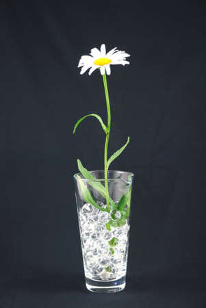 White and yellow daisy in vase  on black background photo