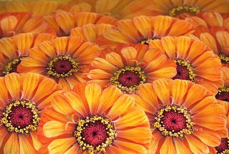 daisys: Orange daisys background