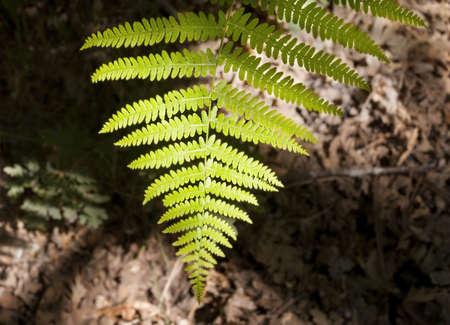 Poplar forest with ferns and disturbing lights