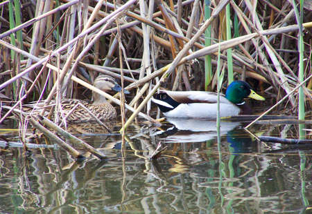 Brown and white ducks in the reeds