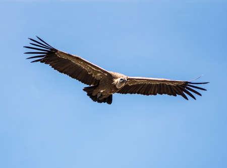 Griffon vulture on blue sky in summer