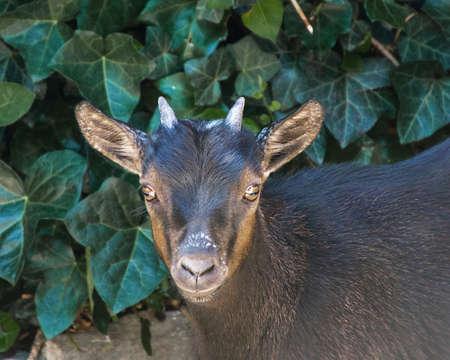midget: Black midget goat in the garden