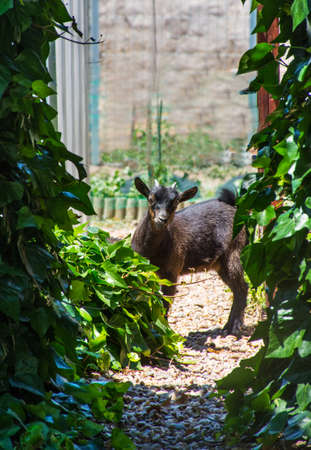 midget: Black midget goat  with curiosity in the garden Stock Photo