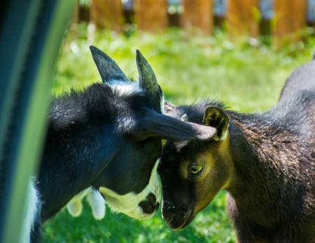midget: Black and white midget goats in the garden