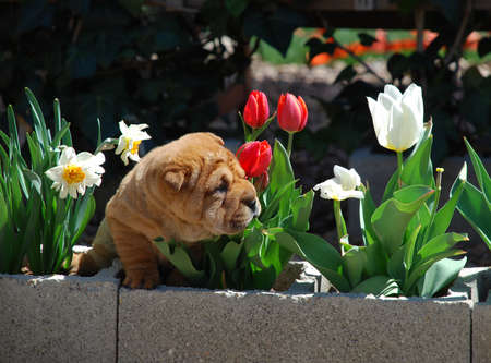 sharpei: Brown puppy of sharpei smelling flowers.