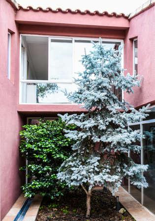 Blue spruce in interior garden