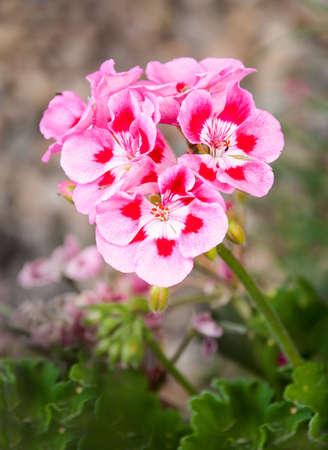 Rose geranium in the garden Stock Photo