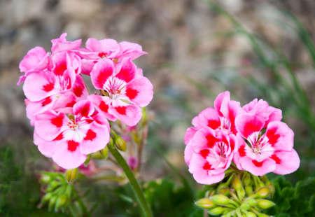 Rose geraniums in the garden