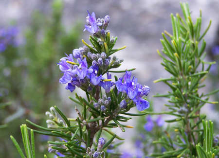 healthful: Rosemary shrub with blue flowers Stock Photo