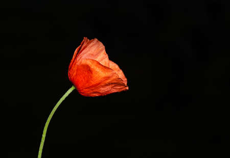 Red poppy on black color with dew drops