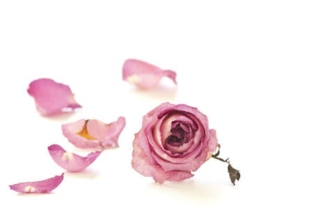 Dried rose on white background