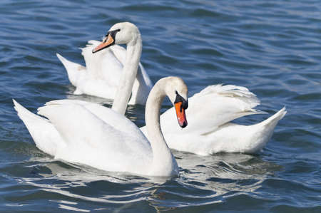 White swan, symbol of love and grace
