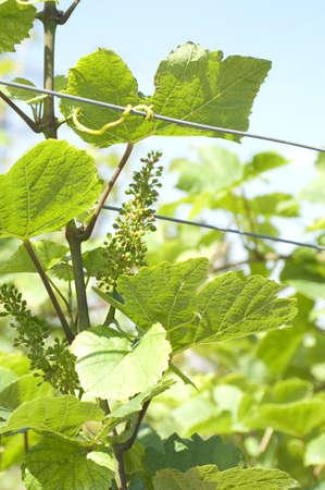 Green grape at vineyard, South Russia  Stock Photo