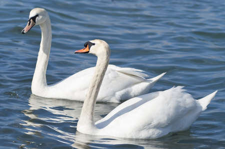 Together forever  two white swans  photo