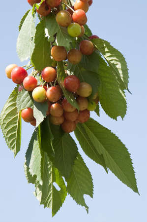 Cherry tree branch with ripe berries on blue sky background