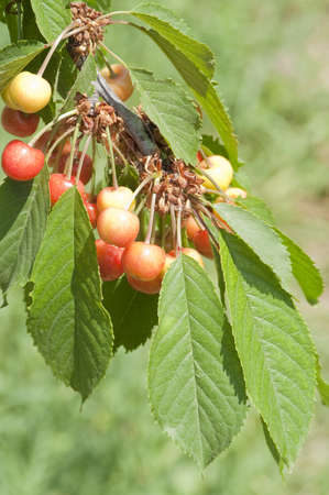 Cherry tree branch with ripe berries