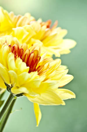 Yellow asters on blur green background