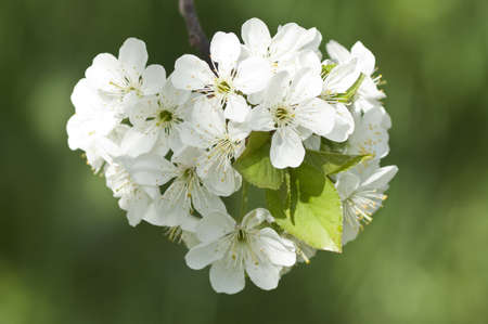 Cherry tree blossoming, heart form