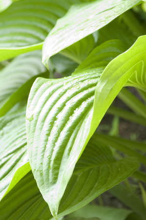 Close up of green hosta leaves