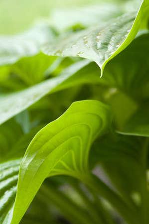 Green hosta leaves, side view