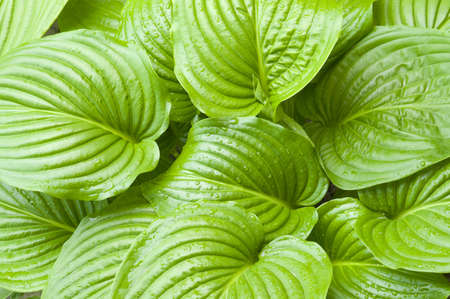 Green hosta leaves from above