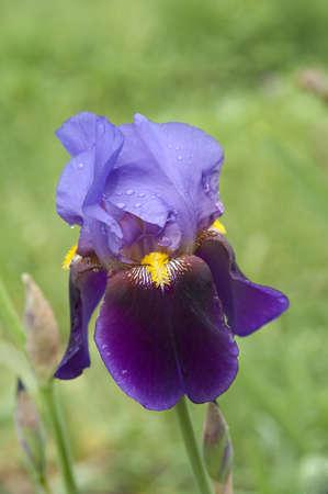 purple irises: Violet flag flower