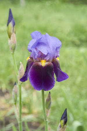 Violet flag flower with water drops