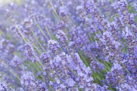 Lavender flower field, background