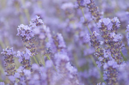 Lavender flower field, natural background