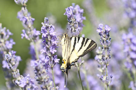 Butterfly Papilio Machaon on a lavender flower