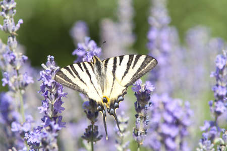 Butterfly Papilio Machaon on lavender Stock Photo