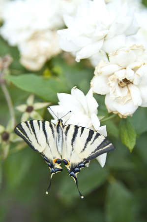 Butterfly Papilio Machaon on white rose bush