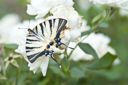 Butterfly Papilio Machaon on a white rose bush Stock Photo