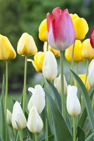 Red, white and yellow tulips in a garden
