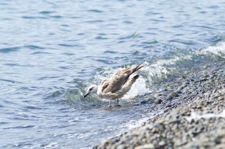 Young seagull bathing Stock Photo