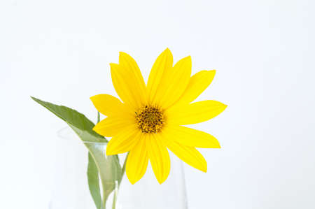 Topinambur flower in a glass vase Stock Photo