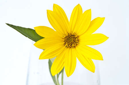 Yellow topinambur flower in a glass vase Stock Photo